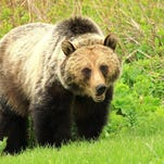 A grizzly bear in Glacier National Park. Courtesy photo For online
