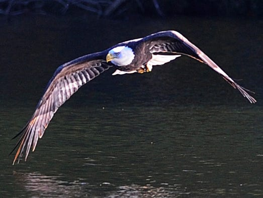 A mature bald eagle has made Radnor Lake State Natural