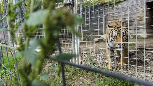 A tiger gazes out of his cage Monday, Oct. 3 2016, at the Summer Wind Farm Sanctuary in Brown City.