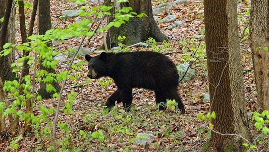 There were 510 bears killed during last year's hunt, which was the second-highest number since the hunt re-started in 2010.