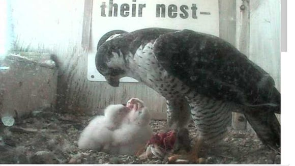 Peregrine falcon chicks gather around  one of their parents for a meal on Monday,