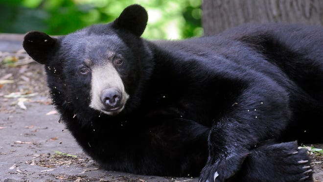 A black bear wakes up on the roof of Center Street home after napping in the City of Poughkeepsie on Friday. Then bear was tranquelized shortly after this picture was taken. June 21, 2013.