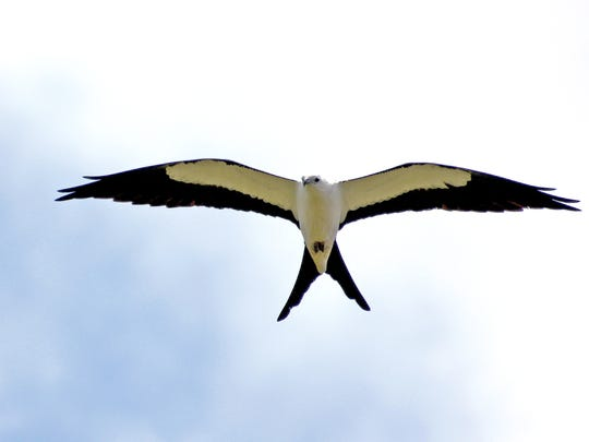 A swallow tail kite soars over Caloosahatchee Creeks