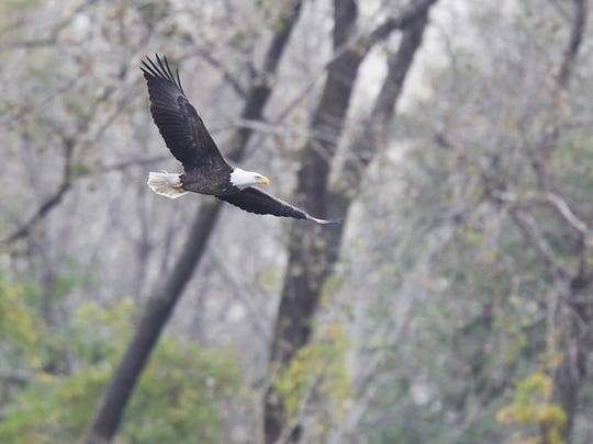 An American bald eagle flying over Overpeck Creek near a nest he and another eagle is said to have occupied.