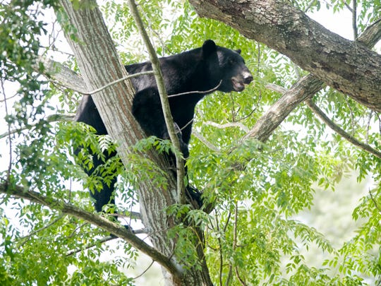 This Black Bear stranded in a tree in the vacant lot next to the McDonalds of Fairfield Drive on Tuesday, July 24, 2018, caused traffic jams and attracted on looking.