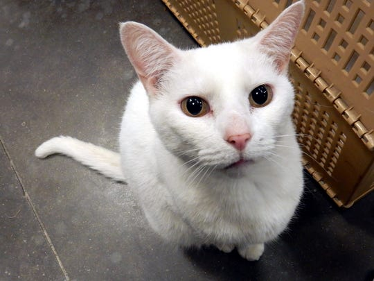 Princess Elsa is a 4-year-old, spayed-female, all white-domestic