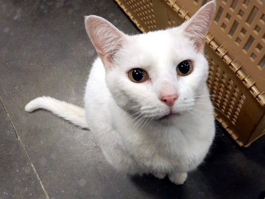 Princess is a 4-year-old, spayed-female all-white domestic