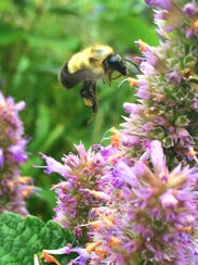 A bumblebee feeds among Burlington flowers in mid-August