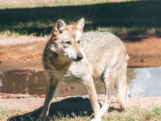 636111937826103310-wolves.JPG