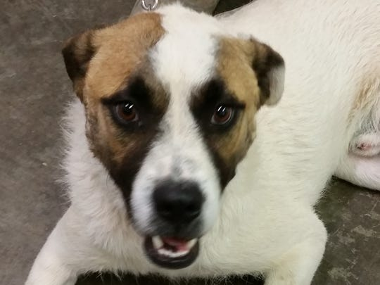 This white, brown and tan male St. Bernard mix named Benny is about 10 months old. Benny is neutered and has a microchip. He is housebroken and leash trained. Benny is good with children and other dogs. He has never spent any time around cats. Benny's adoption fee is $50.05 plus tax and city license. For more information about adopting a Pet of the Week or other furry friends visit Alamogordo Animal Control, 2910 N. Florida Ave., Monday through Saturday between noon and 5 p.m. or contact them at 439-4330.