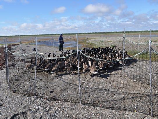 A researcher stands near a pen of flightless Canada