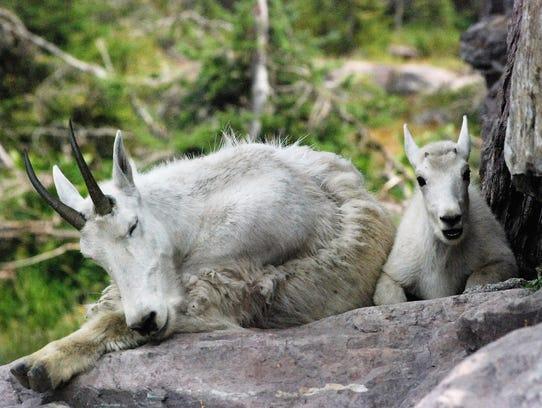 Mountain goats nap near Sperry Chalet.