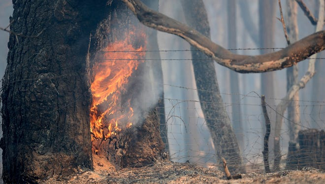 A tree continues to burn from a wildfire along Lumpkin Road near Oroville, Calif., Wednesday, Aug. 30, 2017.