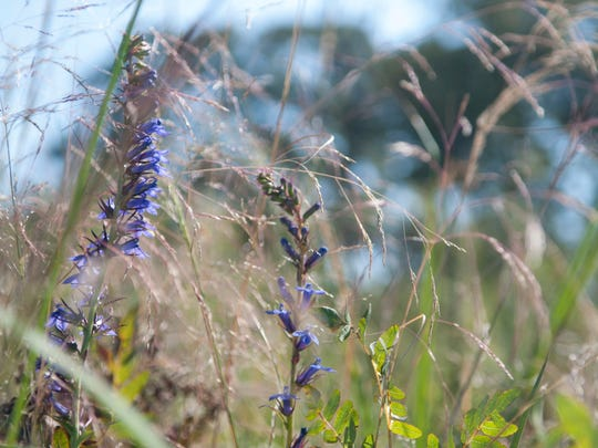 Deep in the marsh Blue Lobelia blooms, the only place the plant can be found in Delaware.