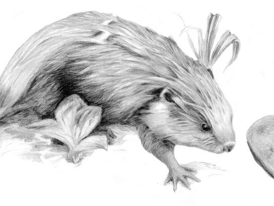 -BUR 0422 beaver dewberry.jpg_20140423.jpg