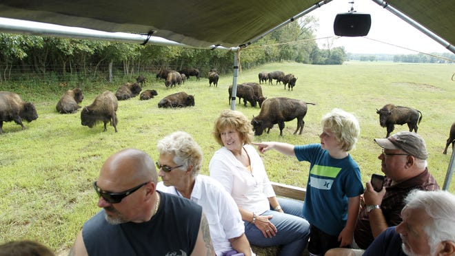 A herd of about 75 bison greet visitors Saturday, Sept. 5, during a tractor-drawn wagon tour on the Van Meter Buffalo Ranch in the White County town of Buffalo.