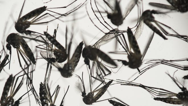 Zika is spread by Aedes aegypti mosquitoes like these. Health officials are trying to unravel how a relative who served as caregiver for an elderly man infected with Zika also became infected. The elderly man died; the caregiver has fully recovered.