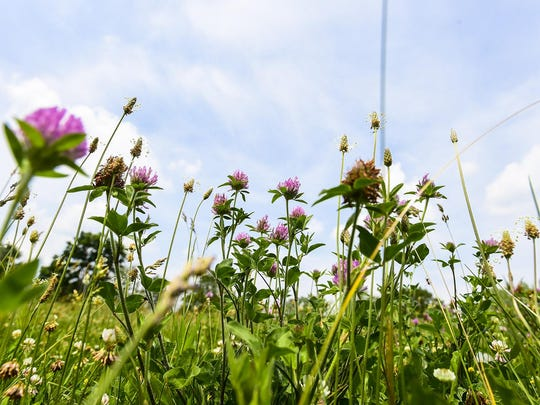 File: Weeds can get a foothold in your lawn in areas where the grass is thin or weak.