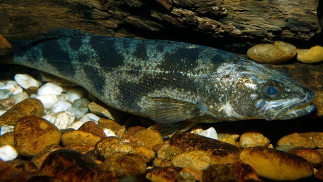 Saugeye are an inviting target for Ohio's winter anglers. The species swims in many of the state's lakes.