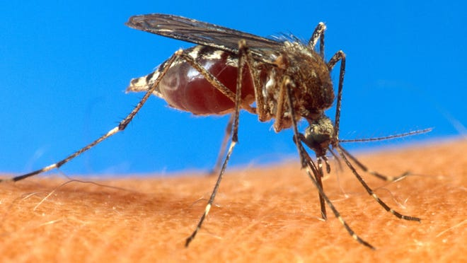 The mosquito that carries the virus - Aedes aegypti - has a range of some 30 states including Kentucky and southern Indiana. It is a small black mosquito that swarms around ankles and bites mostly during the day, officials said.