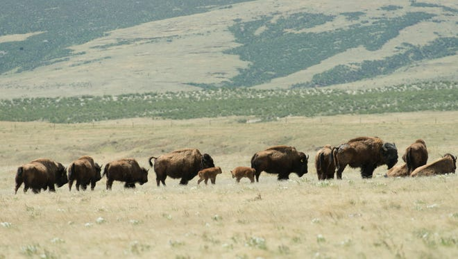 The Laramie Foothill Bison Conservation Herd at Soapstone Prairie Open Space north of Fort Collins grew by two recently as two calves, shown here, were born.