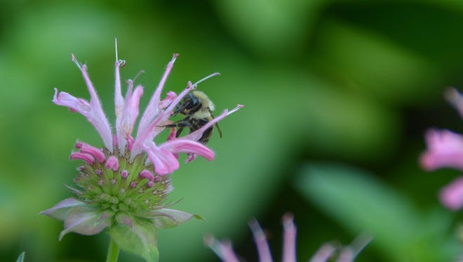 Beebalm, a purple and white wildflower, is attractive to hummingbirds and honey bees.