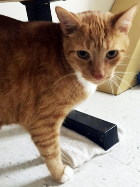 Cheddar is a 4-year-old orange tabby boy who is a big old ball of love. In fact, while trying to get his picture, he wanted to head-butt the camera. If you're looking for a sweet feline fellow, Cheddar just might be the guy for you.