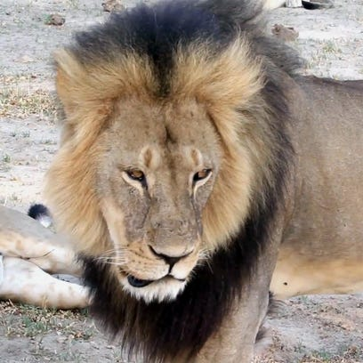 In this file image, a well-known, protected lion known