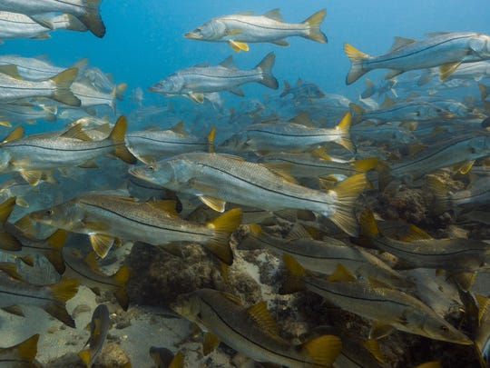 Schooling snook in Jupiter Inlet