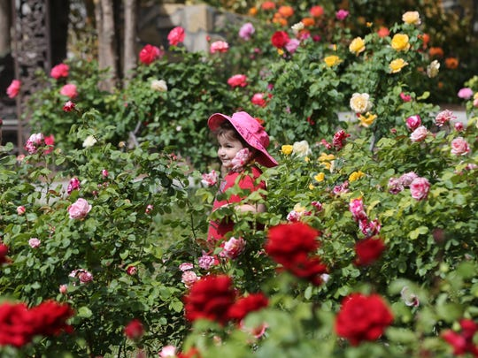 Rebecca Lopez, 3, seemed surrounded by tall rose bushes as she walked on a path at the Municipal Rose Garden Thursday.