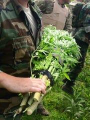 Police officers seized almost 5,000 marijuana plants in an operation that targets growers on public land.