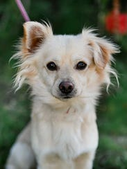 Hermes, 1-year-old male spaniel mix dog. No. 97033.