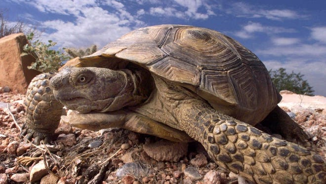 A desert tortoise is photographed at the Desert Tortoise Conservation Center in the Southwest part of the Las Vegas Valley.