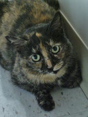 Erika is a 3-year-old petite tortie girl who was dropped off in our outside cages overnight without any information. She's got gorgeous markings and expressive eyes, but she can be a little shy at times. Can you show Erika what a forever home means?