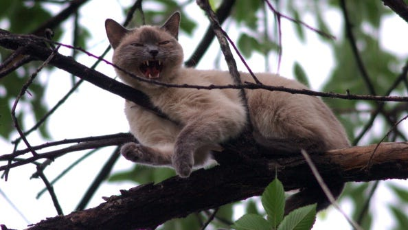 A siamese cat stuck in a tree for more than five days in Denver.