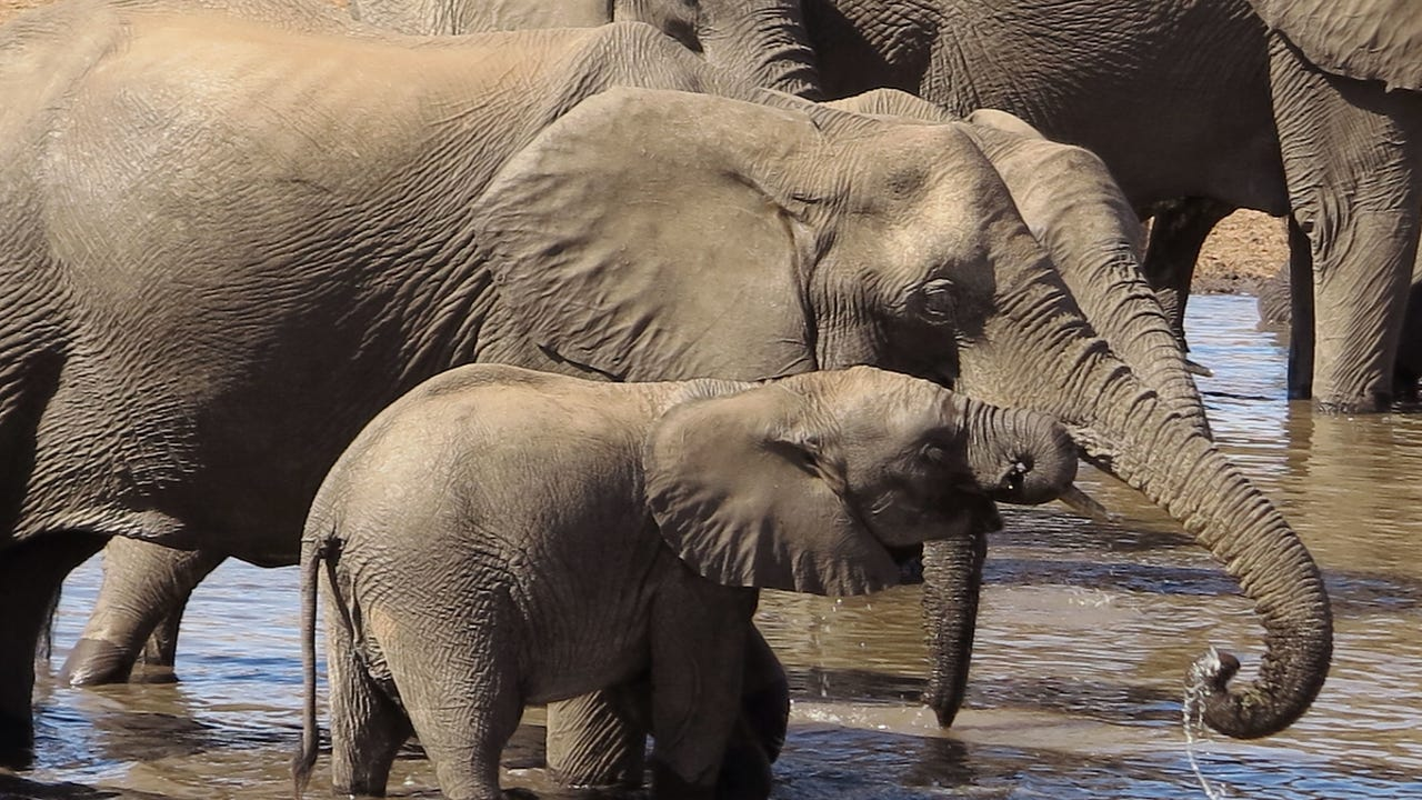 Africa's elephant population has suffered its worst drop in 25 years, the International Union for Conservation of Nature (IUCN) says, blaming the plummeting numbers on poaching. Video provided by AFP