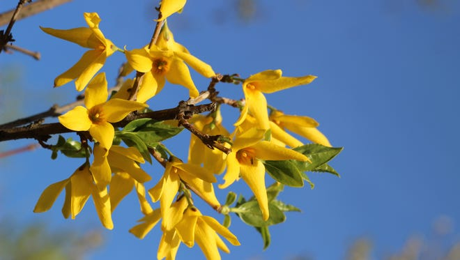 Yellow blooming forsythia bush against the blue sky