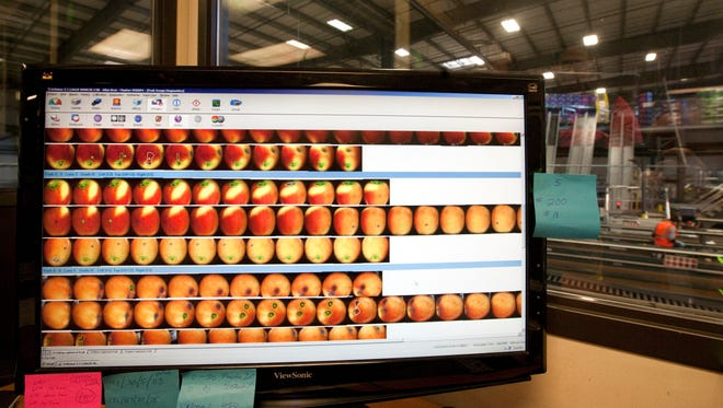 Scans of the exterior of Jazz apples are seen on a computer screen at Allan Brothers Fruit in Naches, Wash. Feb. 19, 2014. The scans reveal defects in the exterior of the apples. Allan Brothers uses the scanners as part of an increasing use of automation in its fruit-packing operation.