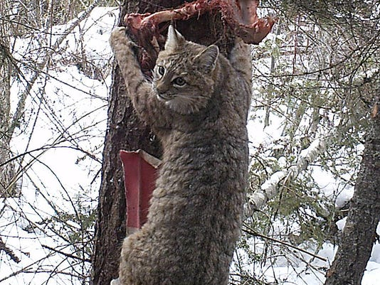 -FALBrd_12-29-2013_Tribune_1_M003~~2013~12~28~IMG_2_Forest_Carnivores._1_1_U.jpg