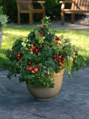 Little Bing tomato stood 2 feet tall and produced sweet, cherry tomatoes all summer long.