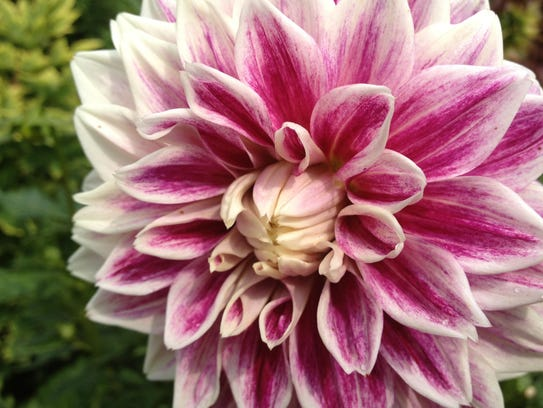 Dahlias grow to immense proportions during their summer