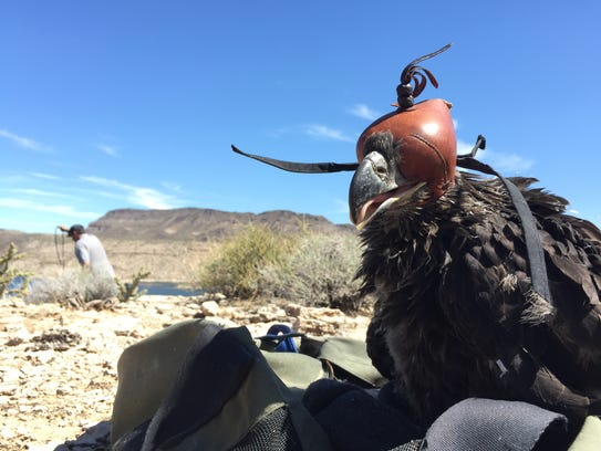 A young bald eagle rests while a crew prepares to carry