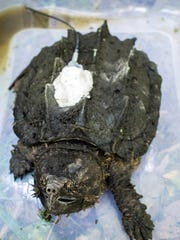 A radio transmitter attached by conservation biologists to the shell of an alligator snapping turtle. Using the signal broadcast by this tag to a handheld receiver, scientists will be able to track the turtle's movement and habitat use.