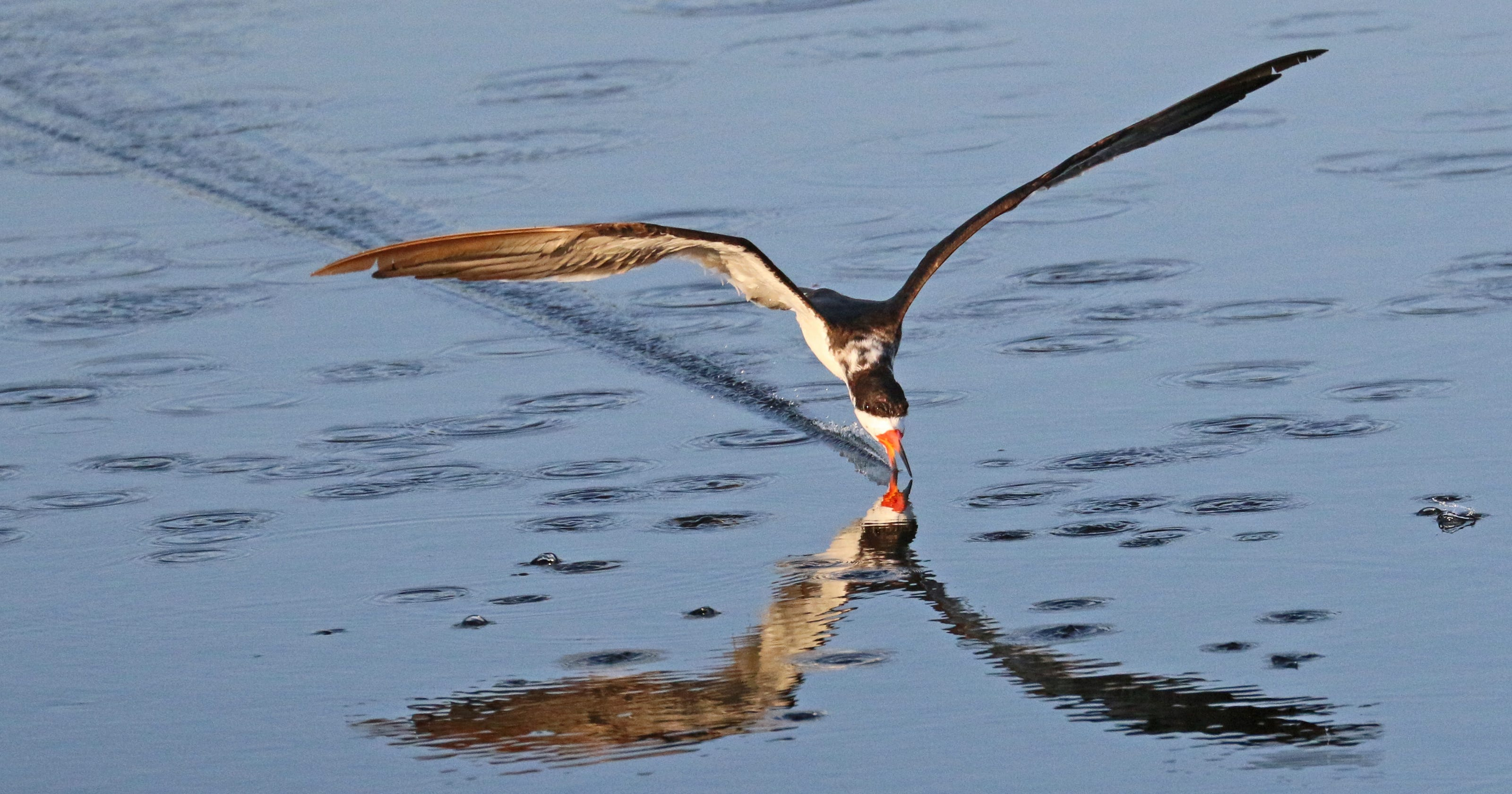 Graceful black skimmers can be elusive