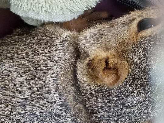 An indentation left on a squirrel after its collar