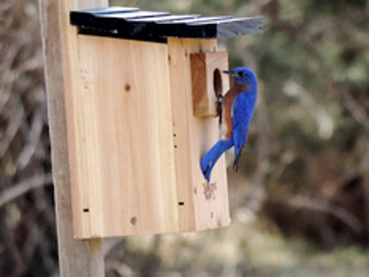 Sunday April 12th was a beautiful day to be out enjoying nature. A bluebird and chickadee with both checking out my daughters new bluebird box. Submitted