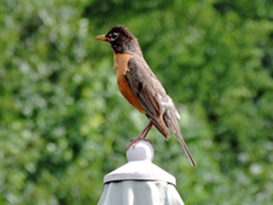 """Fran Marple of Manchester Township writes """"Robin  on an umbrella on my neighbors deck."""" Submitted"""