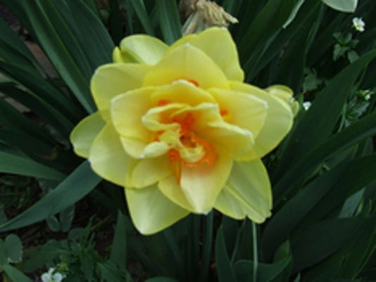 """Carolyn Greenplate of Codorus Twp. submitted this photo to the YDR Nature and Scenery gallery. Greenplate writes, """"Pretty daffodil."""""""