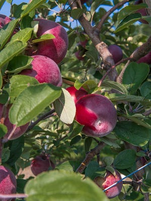 Apple orchard at Gull Meadow Farms.