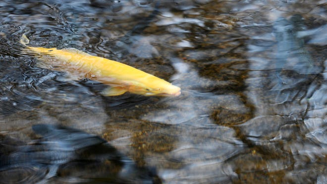 A golden rainbow trout, often called a palomino, swims upstream after being released in Fishing Creek during a trout stocking Wednesday.